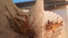 Feeder crickets
