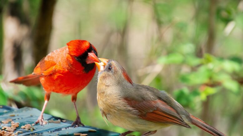 The significations of the cardinal birds